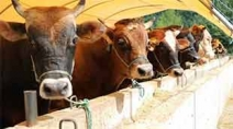 Besicilere müjde! Et ve Süt Kurumu elde kalan kurbanlıkları alacak Haberi Görseli